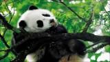 碧峰峡大熊猫基地上里古镇2日游